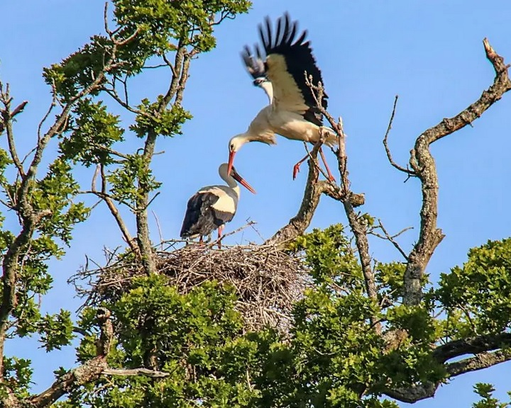 Évszázadok óta először keltek ki vadon fehér gólyák Nagy-Britanniában