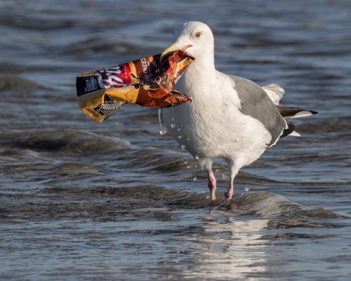 Naponta több száz műanyagdarabot nyelnek le a folyópartokon élő madarak
