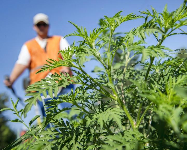A földhasználó köteles az ingatlanon a parlagfű virágbimbójának kialakulását megakadályozni