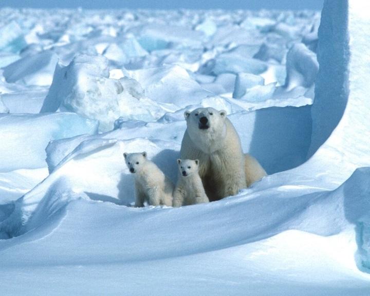 A jegesmedvék vesztét okozhatja a klímaváltozás a század végére