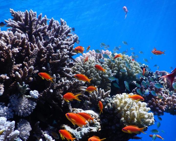 A hőmérséklet emelkedésének ellenálló korallokat fedeztek fel a Vörös-tengerben