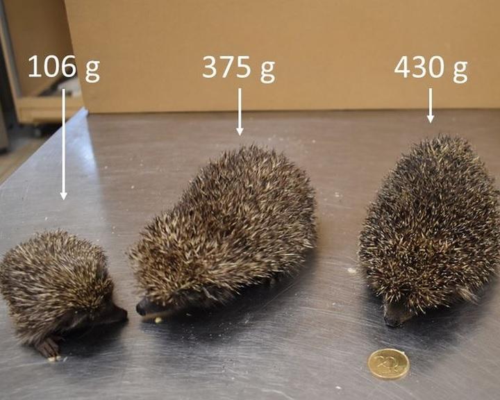 A termetesebb sünök védelmére szólít fel a budapesti állatkert