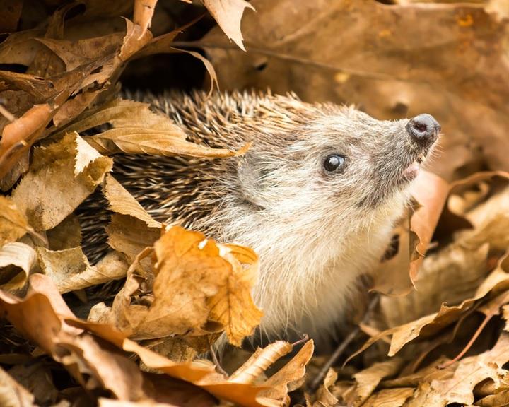 MME: az őszi kerti munkálatok során vigyázzunk a sünökre