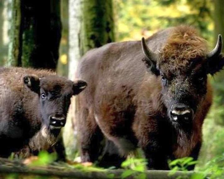 Állatkertekben élő európai bölényeket telepítettek vissza a bulgáriai vadonba