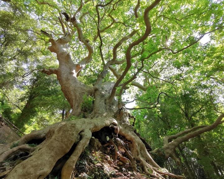 Európai év fája verseny: a jelenlegi állás szerint az olasz fa kapta a legtöbb szavazatot
