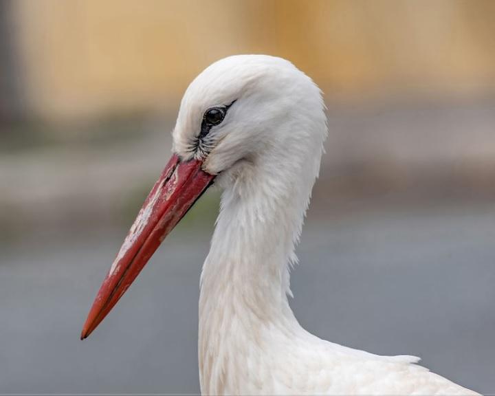 Megérkezett fészkébe az idei első magyar gólya
