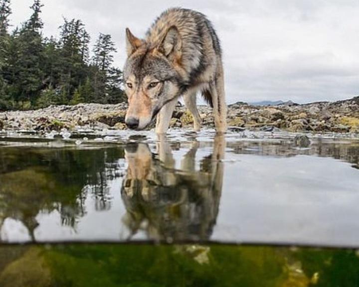 A farkasok csekély veszélyt jelentenek a haszonállatokra