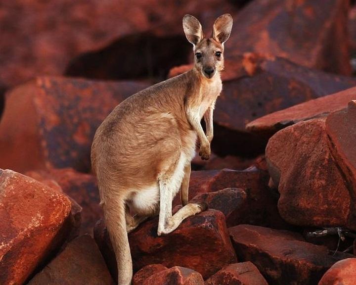 Kengurut ábrázol Ausztrália legősibb barlangrajza
