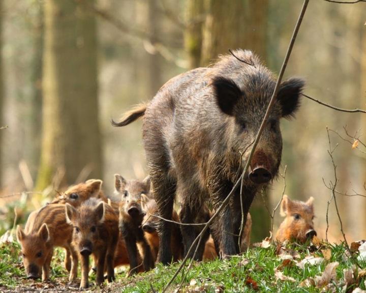 Óvatosságra intik a túrázókat a vaddisznók ellési időszaka miatt