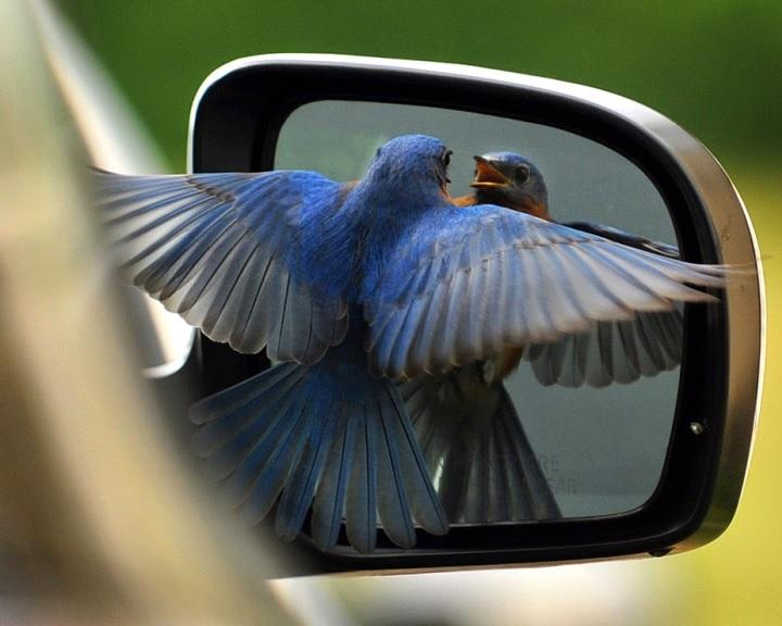 A tükröződő felületek eltakarásával megelőzhető a madarak ablaktámadása