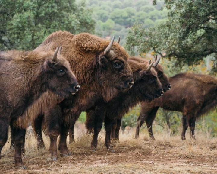 A bölények menthetik meg a spanyol erdőket
