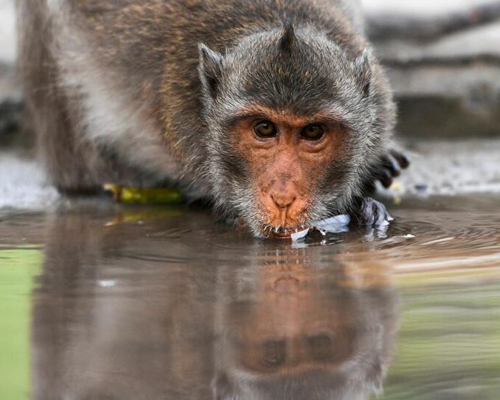 Emberi sejteket tartalmazó majomembriókat hoztak létre