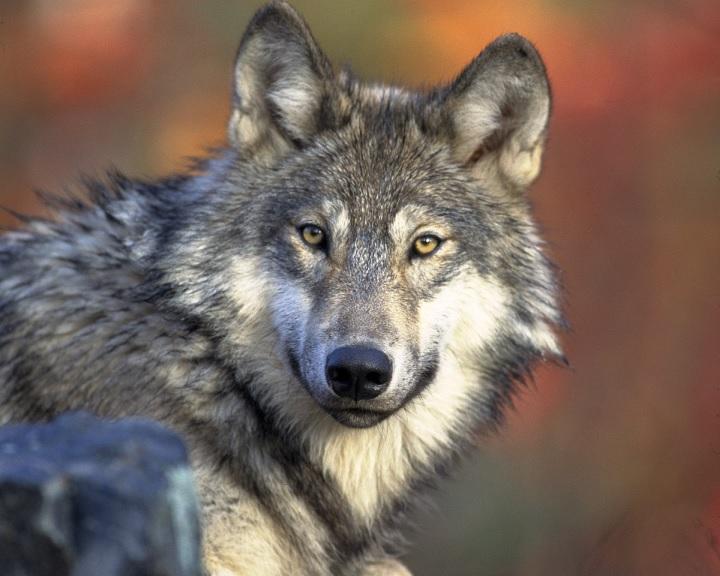 Védetté nyilvánították a farkast Szlovákiában