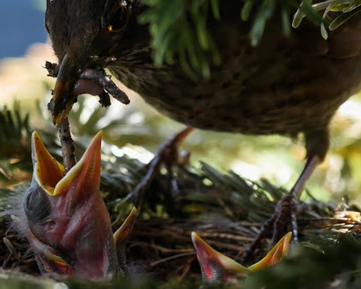 MME: ne vigyük haza a talált madárfiókákat!