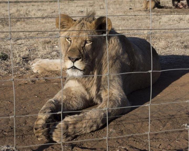 Megtiltanák az oroszlánok tenyésztését vadászat és kölyöksimogatás céljára