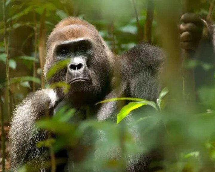 Természetes élőhelyeik mintegy 90 százalékát elveszíthetik a főemlősök Afrikában