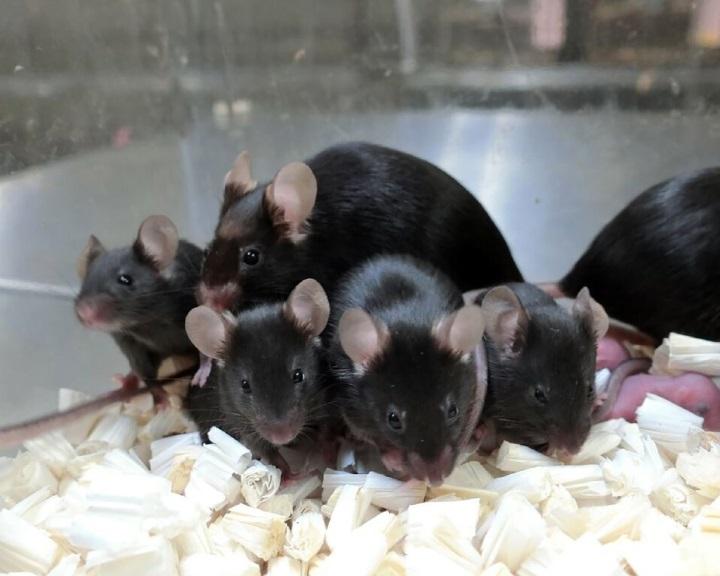 Egészséges egerek születtek kozmikus sugárzásnak kitett spermából