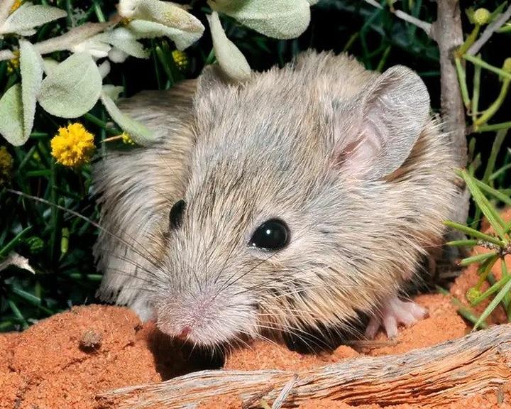 125 éve kihaltnak hitt rágcsálófajt fedeztek fel egy ausztrál szigeten