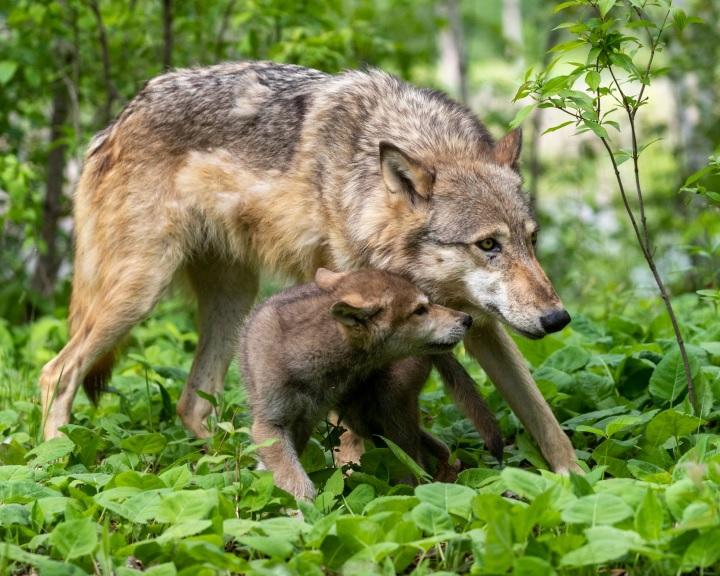 A wisconsini szürke farkasok egyharmadát kiirtották, miután megszűnt a védettségük