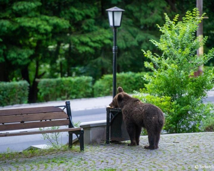 EU-s projekt keretében mérik fel és védik meg a romániai medveállományt