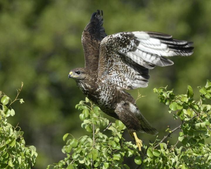MME: már csaknem száz, méregtől elpusztult madarat találtak