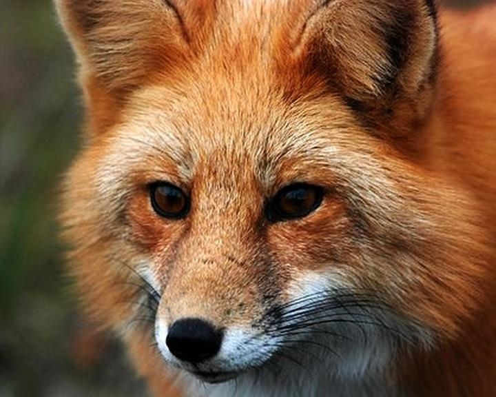 Ebzárlat a rókák veszettség elleni immunizációja miatt