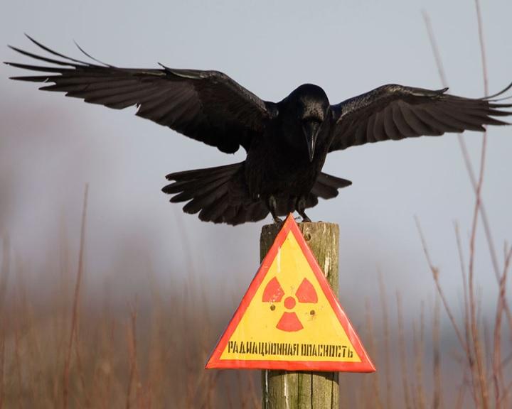 Az állatok visszatértek a csernobili katasztrófa területére
