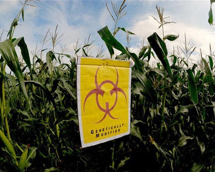 FM: nem termeszthetők génmódosított kukoricafajták Magyarországon
