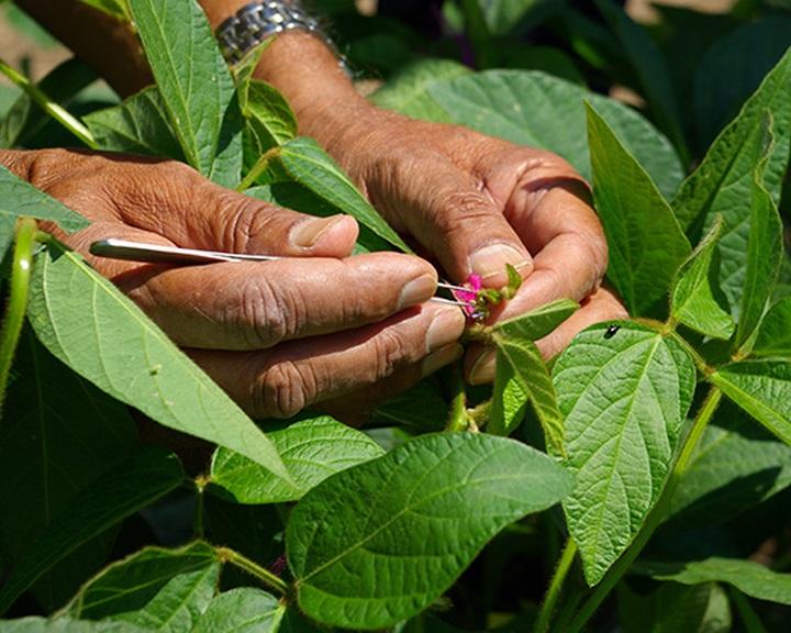 Nem szabadalmaztatható a növénynemesítés az EP szerint