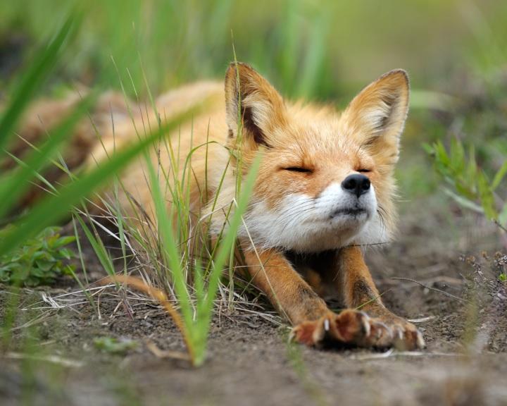 Szombaton megkezdődik a vadon élő rókák veszettség elleni vakcinázása