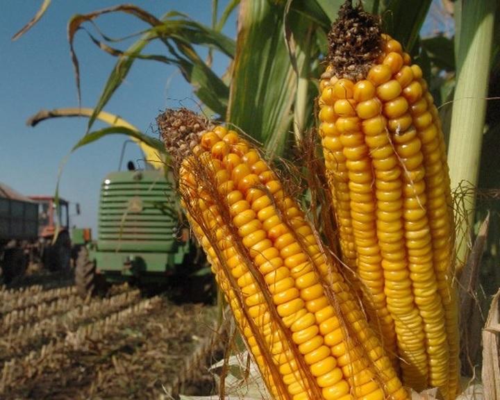 A Nébih kiemelten ellenőrzi a kukorica vetőmagokat