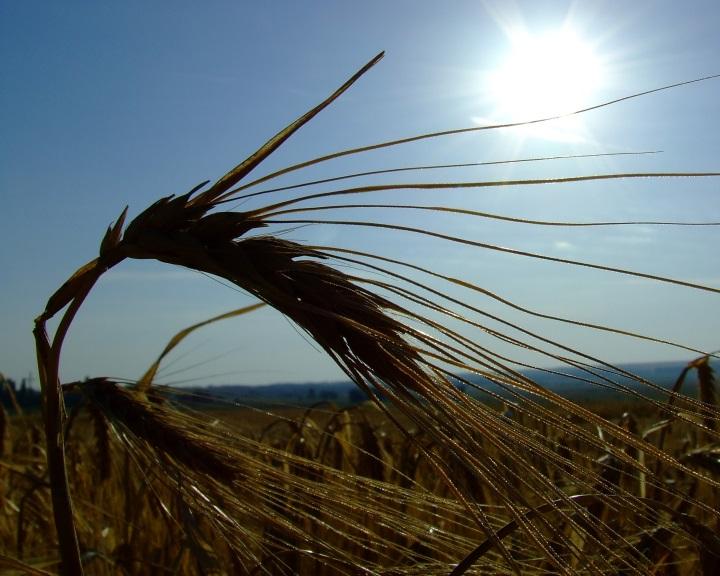 Új szabályozásra lehet szükség a legújabb GMO-kutatási eredmények miatt