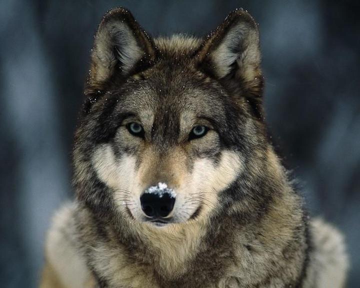 Egyetlen farkaspopulációra vezethetőek vissza a mai kutyafajták