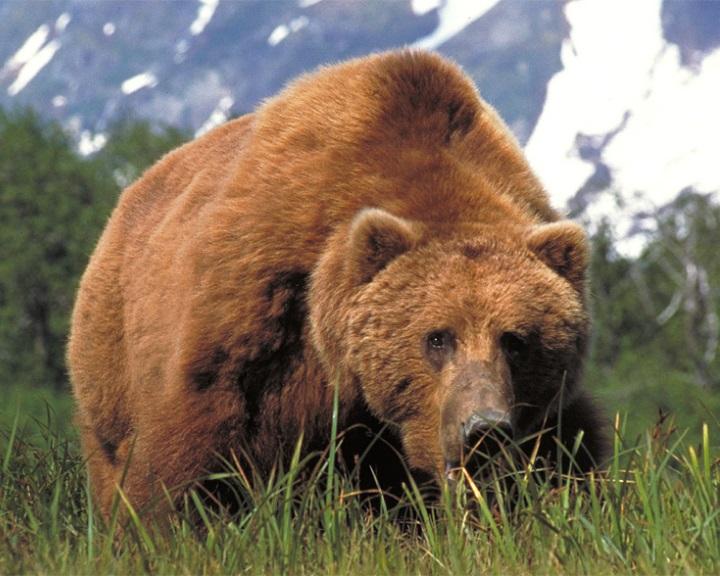 Fekete bodzát eszik a klímaváltozáshoz alkalmazkodó Kodiak-medve