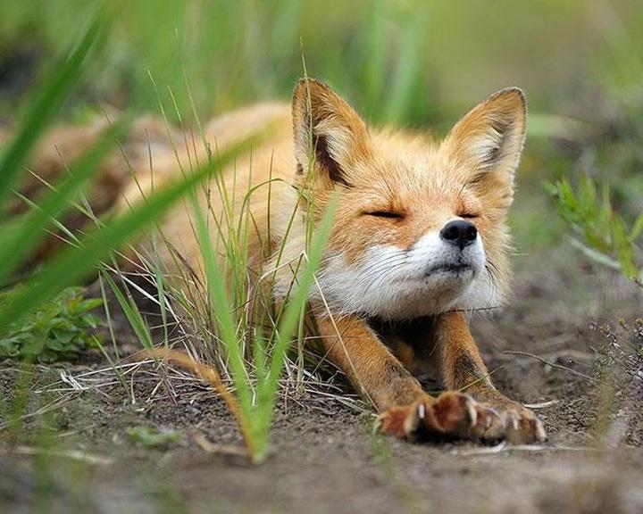 Nébih: szombaton kezdődik a rókák őszi vakcinázása