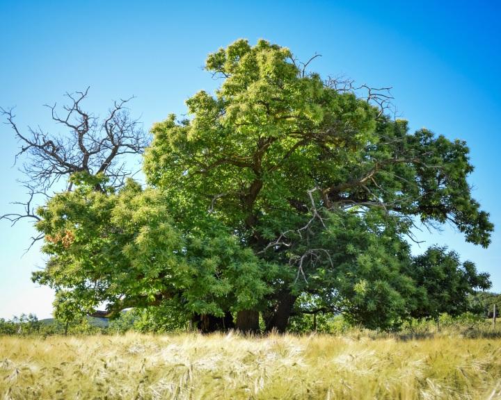 Zengővárkonyi fára is lehet szavazni október 15-ig az Év Fája versenyen