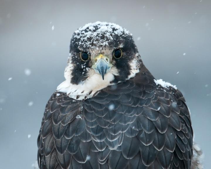 A vándorsólyom az idei év madara