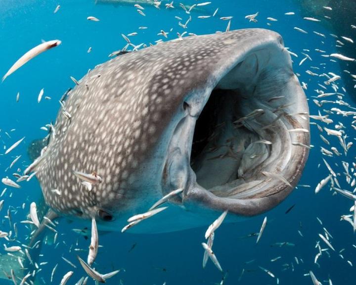 A tengerek óriásait veszélyeztetik a műanyag mikroszemcsék