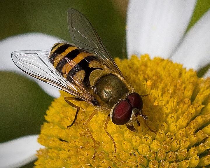 Először mutatták ki zengőlegyeknél a méhek betegségeit