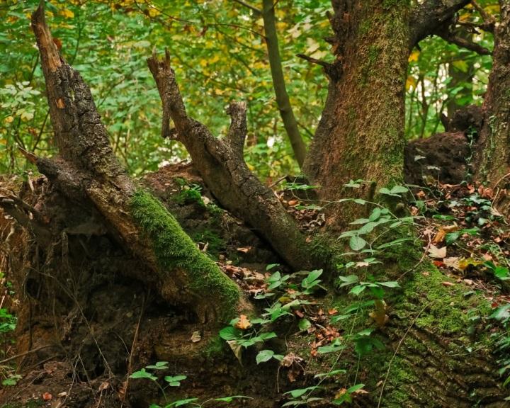 A kihalás szélére sodor egyes bogárfajokat a fák eltűnése Európában