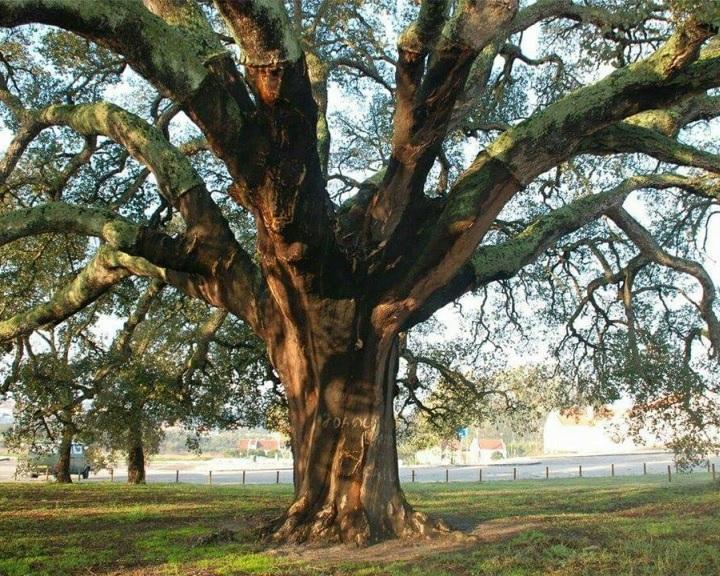 Negyedik helyen végzett a zengővárkonyi fa az Európai Év Fája versenyben