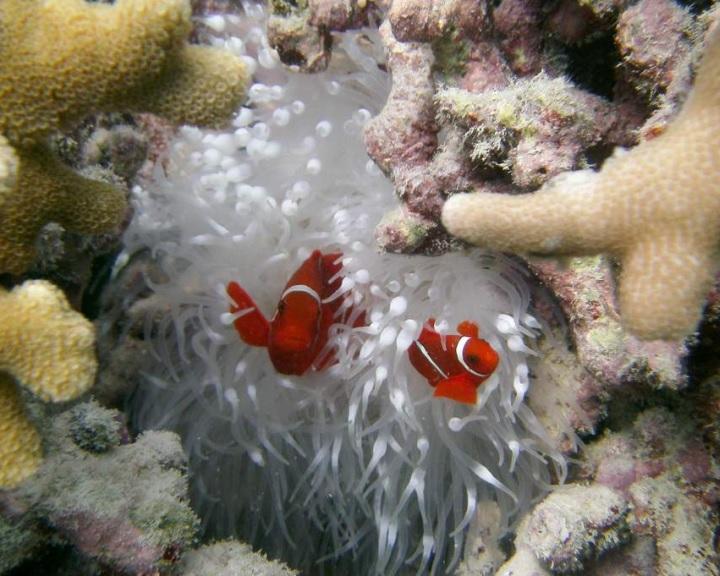 Példátlan mértékű korallpusztulás sújtja az ausztrál Nagy-korallzátonyt
