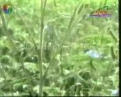 Védekezés a parlagfű ellen (Dr. Ruppert Ferenc)