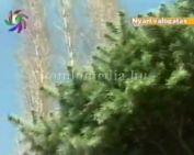 Bonsai fák
