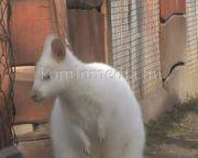 Wallaby kenguru-pár érkezett a komlói Mini Zoo-ba (Faragó Endre)