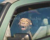 Sose hagyjuk az autóban kiskedvencünket! (Dalmadyné Banai Andrea)